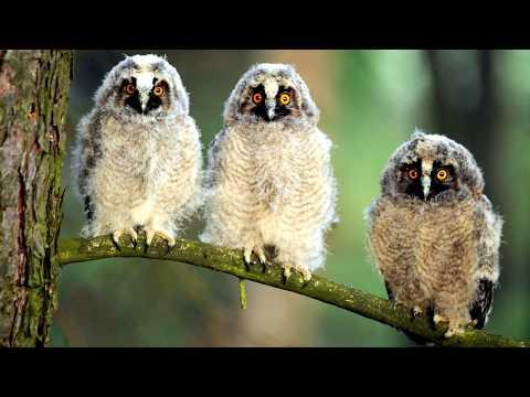 Голос ушастой совы, пение и крики. Крики птенца ушастой совы. Птенец ушастой совы. Ушастая сова