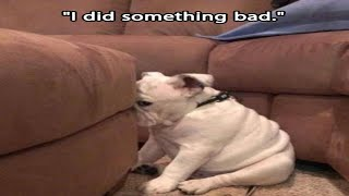 Best Of Funny Guilty Dog  Video Compilation