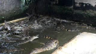 Feeding crocs at Taritip crocodile farm, Indonesia