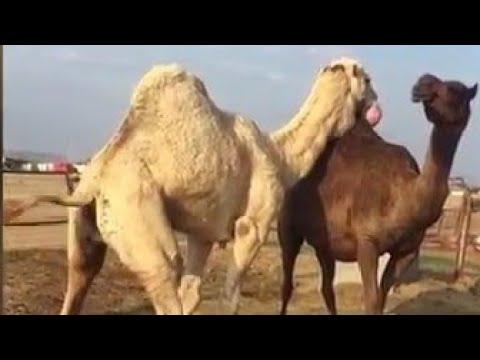 Camels Верблюд بعير اعفر كفوو  على جميع الشروط للبيع التفاصيل ☜( تم البيع )