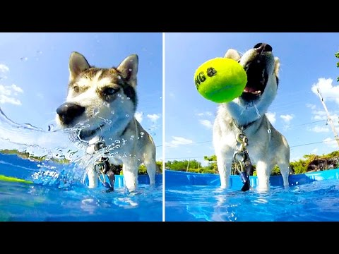 Husky Hack #2: Husky dog pool party