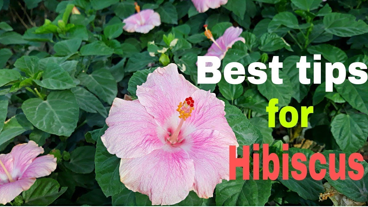 Best Tips For Hibiscus Plants Hindi Youtube