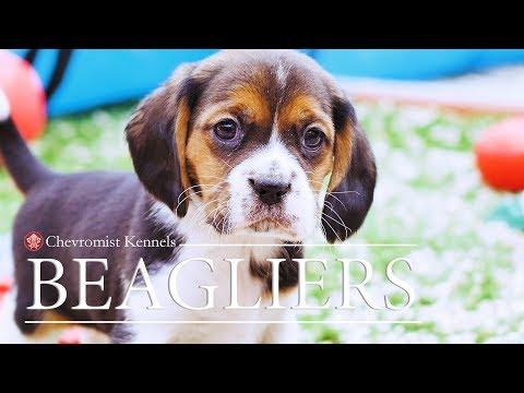 Beaglier Puppies Chevromist Kennels