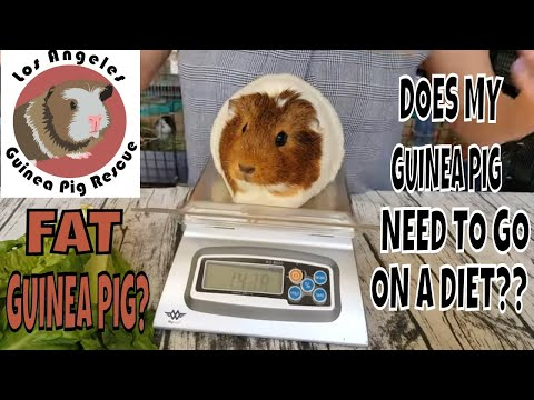Does My Guinea Pig Need To Go On A Diet??