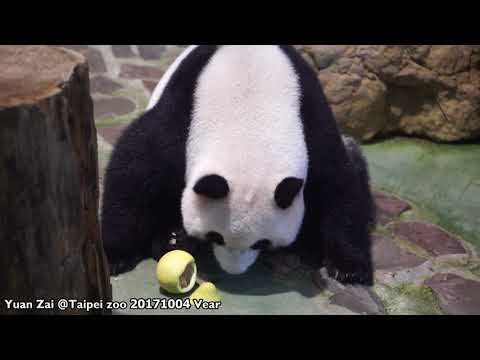 20171004 圓仔吃柚子 The Giant Panda Yuan Zai @Taipei zoo