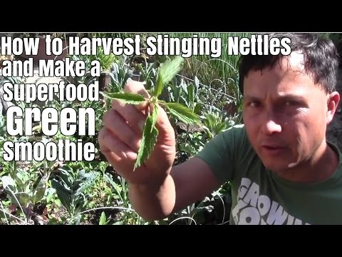 How to Harvest Stinging Nettles & Make a Superfood Green Smo