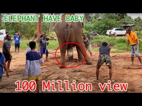 ELEPHANT HAVE BABY วินาทีช้างตกลูก