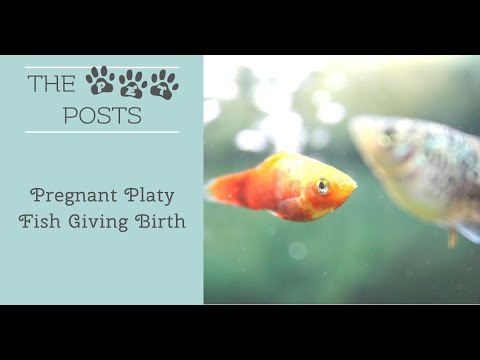 Pregnant Platy Fish Giving Birth
