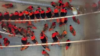 Red Bishop Weavers Sale Pair
