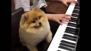Dog plays piano So cute !!