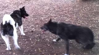 Akita and wolf hybrid playing
