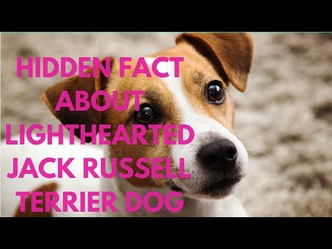 Hidden Fact About Lighthearted Jack Russell Terrier Dog