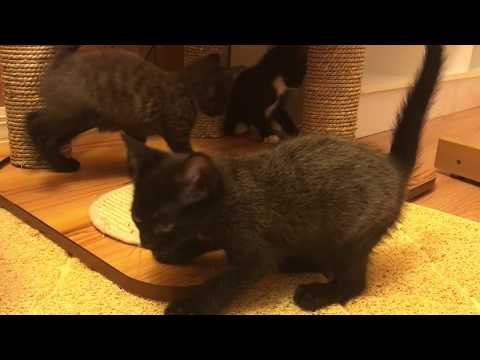 Six Week Old Foster Kittens! Where Will Feral Mama Cat Go?