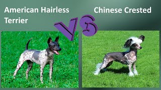 American Hairless Terrier VS Chinese Crested  Breed Comparison