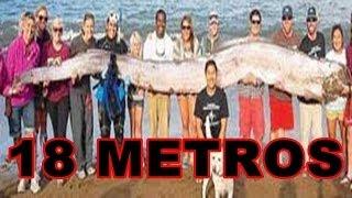 Não é história de pescador OARFISH o peixe gigante