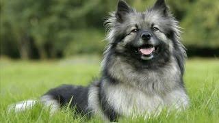 Порода собак Кеесхонд (Вольфшпиц)