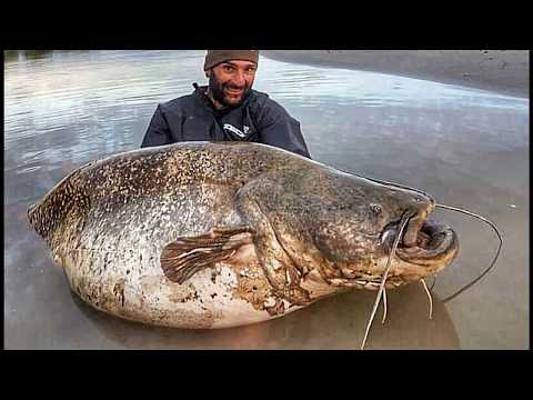 the river monster wels catfish over 200 lbs hd by catfishing
