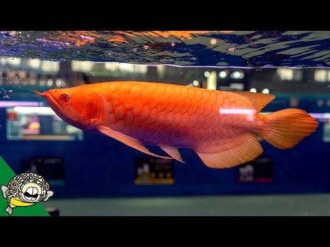 Arowana Fish World Championship CIPS 2018 - Aquarium Co-Op