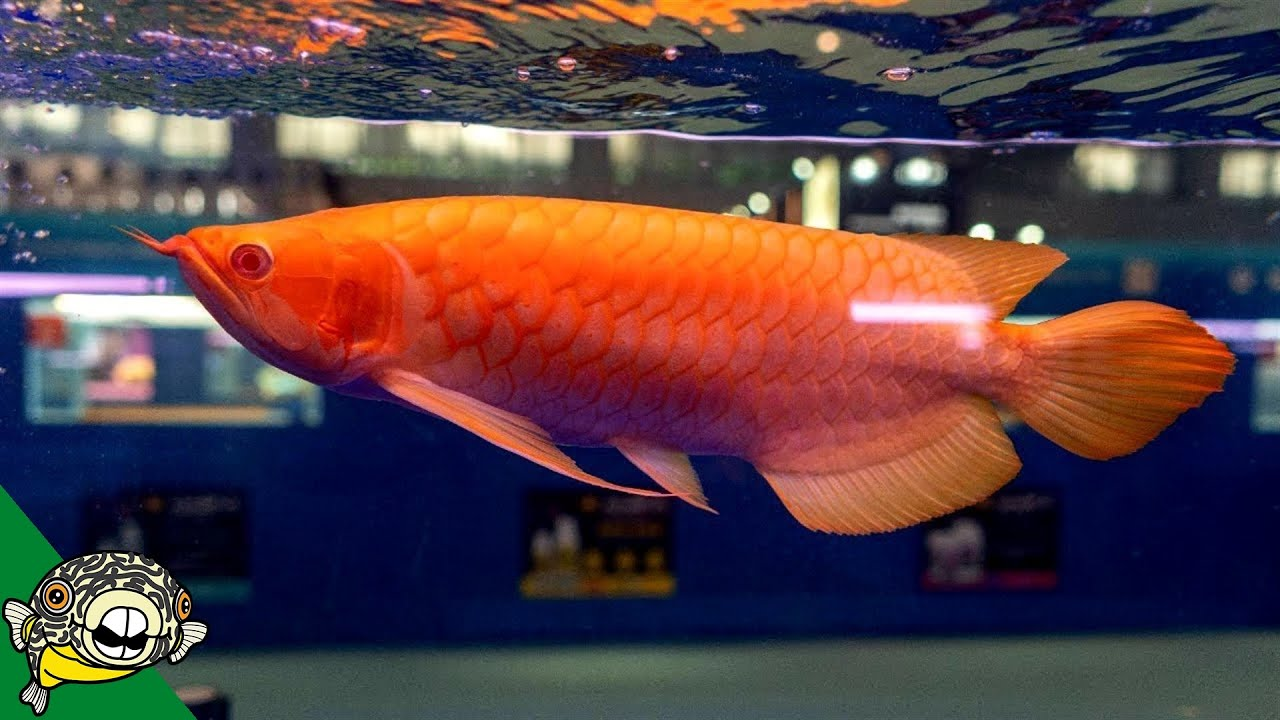 diabetes juvenil super roja arowana