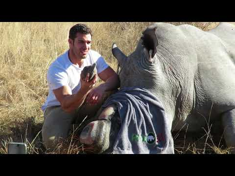 Dr.Evan Antin helps Dr. Lynne Mactavish trim her rhino's horn to protect them from poachers