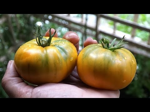 Grow Tomatoes In 3 - 5 Hours Sun In Pots , Grow Bags  | Kellogg's Breakfast Tomato