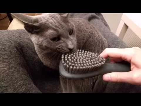 Russian blue Lena not too sure about being brushed