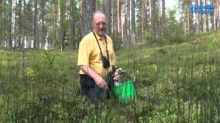 Природа Финляндии. Плаун.(Плаун, или Ликопо́диум (лат. Lycopódium) — род растений семейства Плауновые (Lycopodiaceae). Виды плаунов используют..., 2014-01-10T10:49:53.000Z)