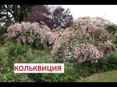 КОЛЬКВИЦИЯ ЛУЧШИЙ кустарник в саду.