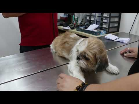 The Shih Tzu Was Not Eating - Open Pyometra