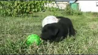 Продам Собаку породы Лабрадор ретривер самка регион Москва
