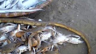 Quăng chài bắt cá kiểu này thì có mà cho cả huyện ăn à