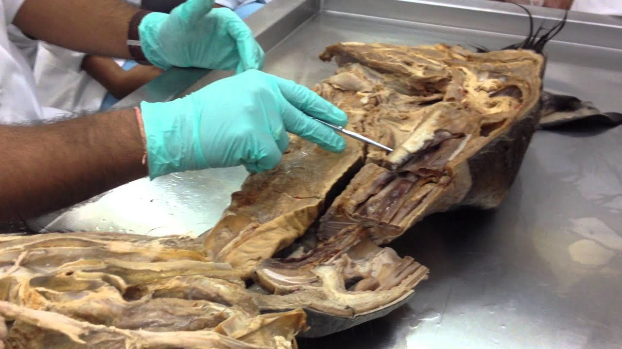 SGU SVM Anatomy Head Sinuses 1 (Donkey) - YouTube