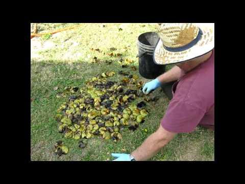 How I hull black walnuts