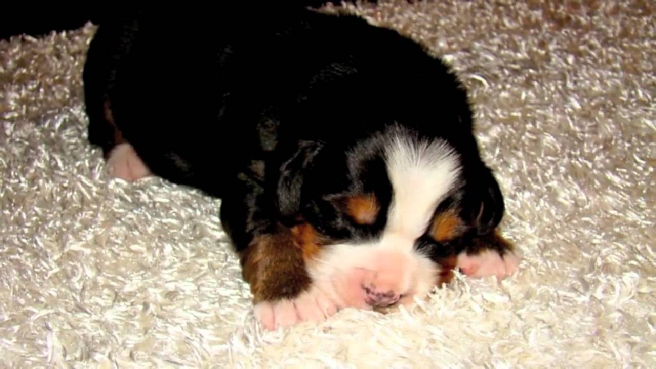 Bernese Mountain Dog Puppies 2 Weeks Old Youtube