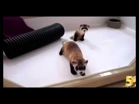 Cute & Curious Black-footed Ferrets