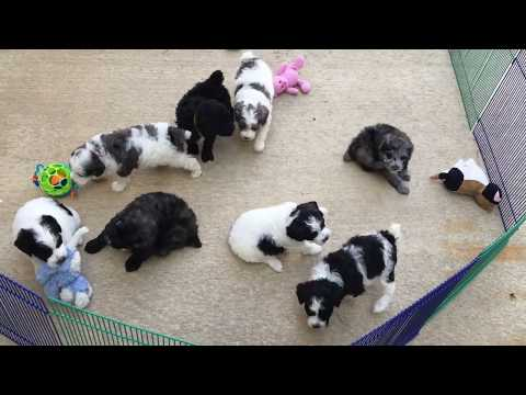 Liberty's schnoodle puppies 8-13-18