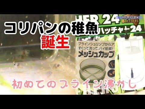 【アクアリウム】初めてのブライン沸かし、ハッチャー24、スドーメッシュカップ【コリドラスパンダ】