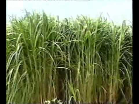 Mott grass production technology.Pakistan part-1 Dr.Ashraf Sahibzada