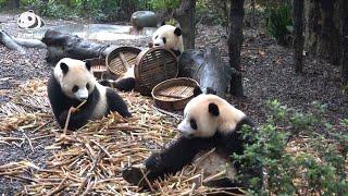 Are giant pandas ferocious? | Pandaful Q&A