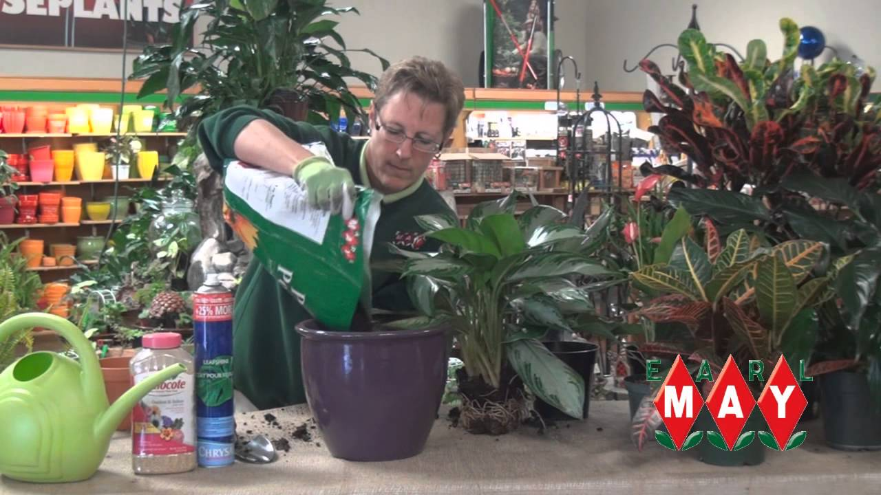 Earl May Garden Center How to Properly Transplant Houseplants