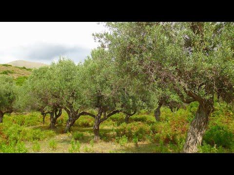 ALBANIA - Olive Trees