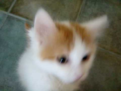 Turkish Van Kitten 10weeks