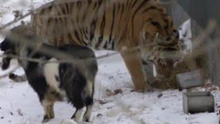 Странный союз тигра и козла: Тимур выгнал Амура на мороз