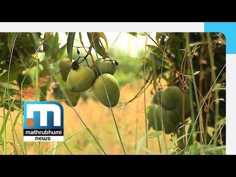 Nipah Scare: Karnataka Mango Farmers Bear The Brunt| Mathrubhumi News