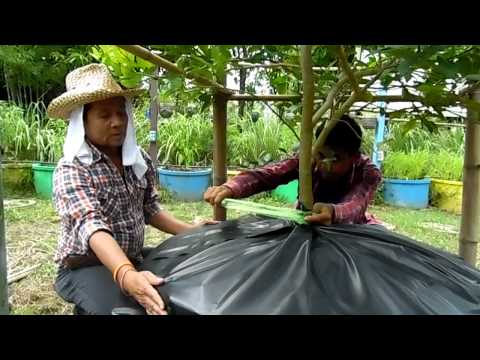 เทคนิคการปลูกมะนาวในบ่อซีเมนต์ 2 (ศูนย์พัฒนาชนบทผสมผสานไทรโยค)