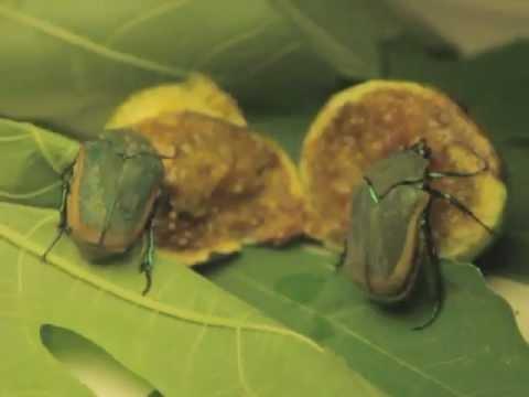 Figeater Beetle - YouTube