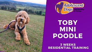 Toby the Mini Poodle - 3 Weeks Residential Dog Training
