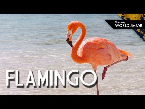 Have You Ever Seen a Flamingo Fly?