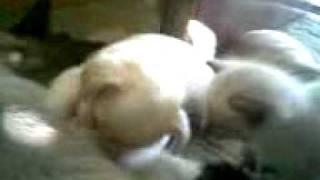 Маркиза и потомство. Кошка выкармливает щенка!