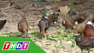Tăng thêm thu nhập nhờ nuôi gà rừng   THDT